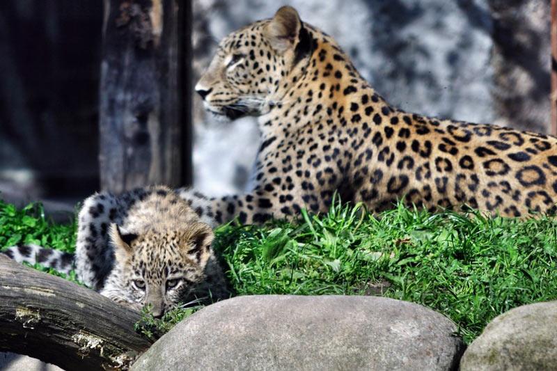 Животные краснодарского края: Переднеазиатский леопард