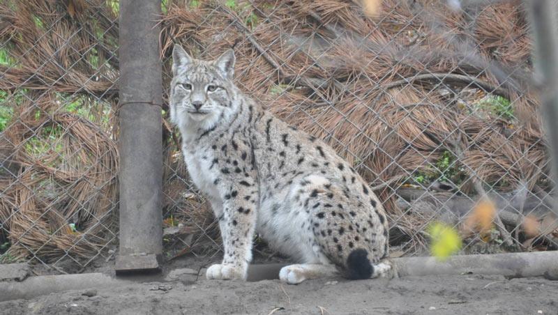Животные краснодарского края: Кавказская рысь