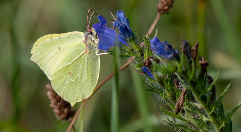 Животные краснодарского края: Бабочка Лимонница