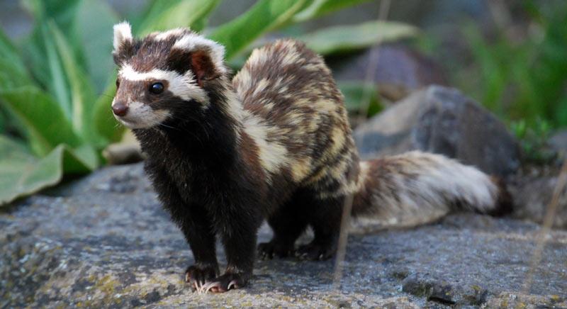 Животные краснодарского края: Хорь-перевязка