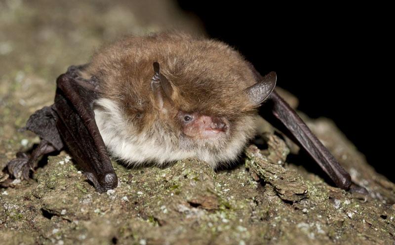 Уязвимые виды: ночница Наттерера