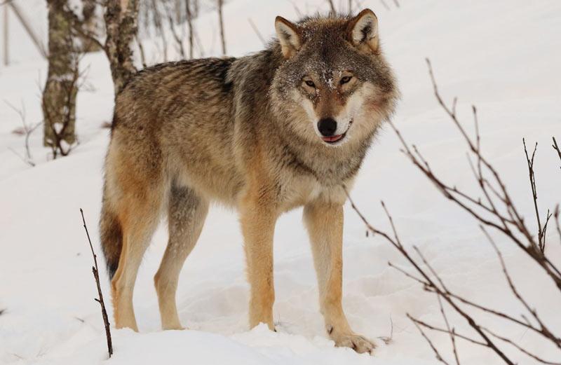 Животные Московской области: Волк обыкновенный