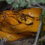 Змеи Африки: ядовитые и неядовитые