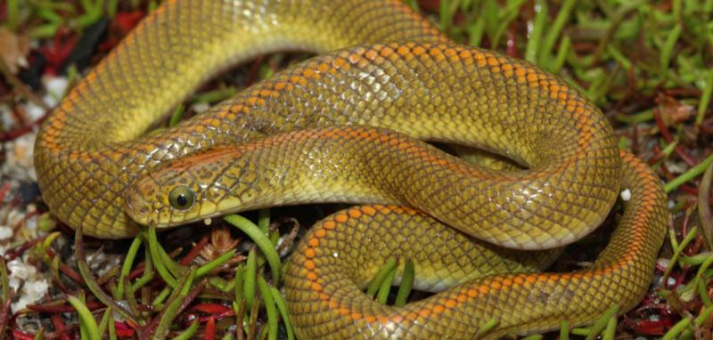 Змеи Африки: Домовая змея-аврора (Lamprophis aurora)