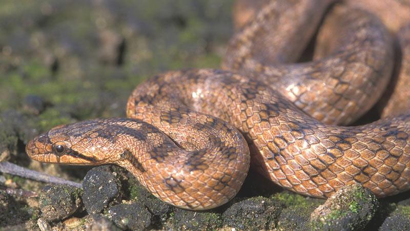 Змеи Африки: Жирондская медянка (Coronella girondica)