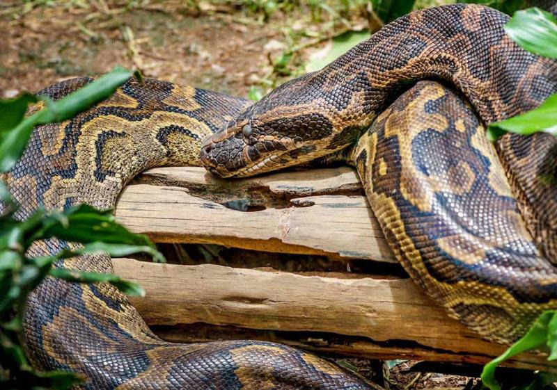Змеи Африки: Скальный питон (Python sebae)