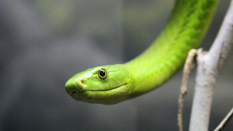 Змеи Африки: Зелёная мамба (Dendroaspis viridis)
