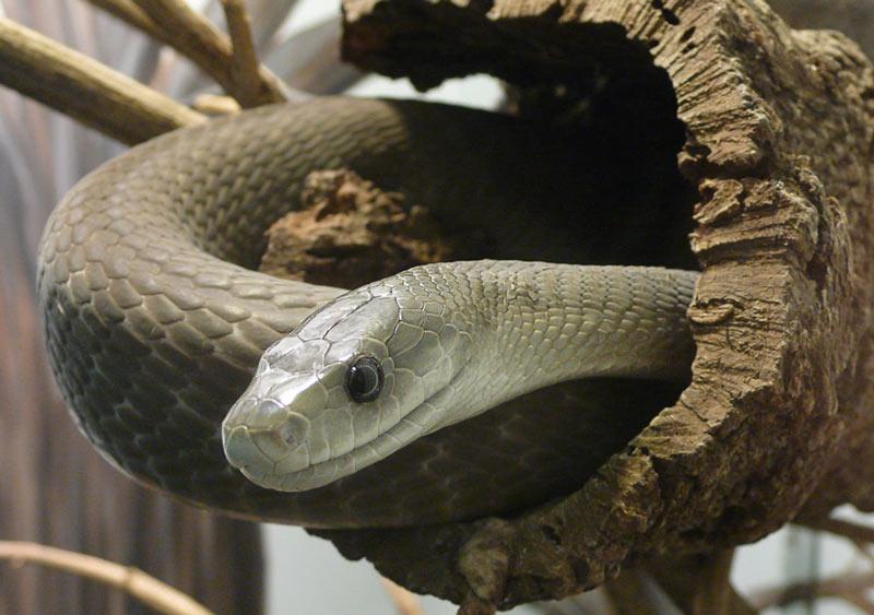 Змеи Африки: Чёрная мамба (Dendroaspis polylepis)