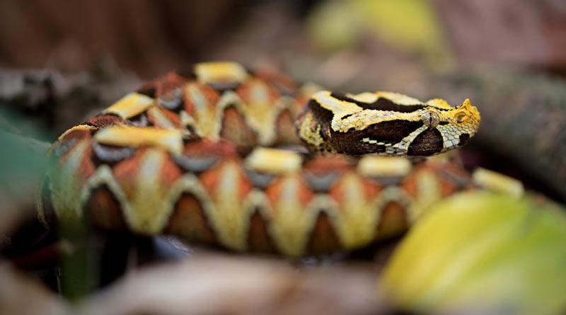 Змеи Африки: Африканская гадюка (Bitis)