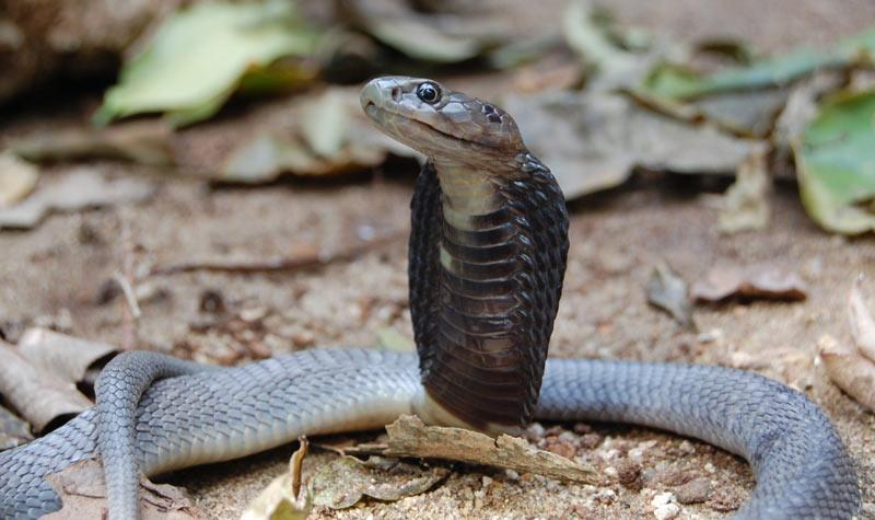 Змеи Африки: Плюющаяся кобра (Naja ashei)