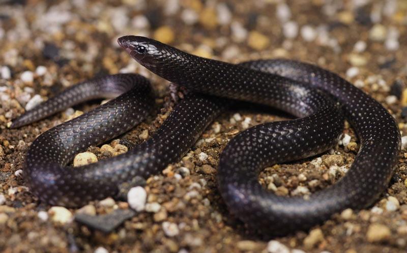 Змеи Африки: Медные змеи (Prosymna)