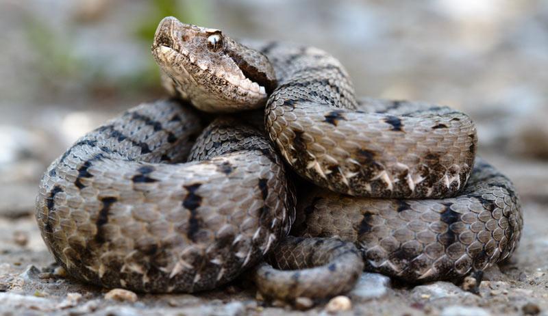 Змеи Кавказа: Гадюка настоящая