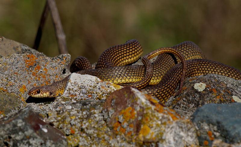 Змеи Кавказа: Желтобрюхий полоз