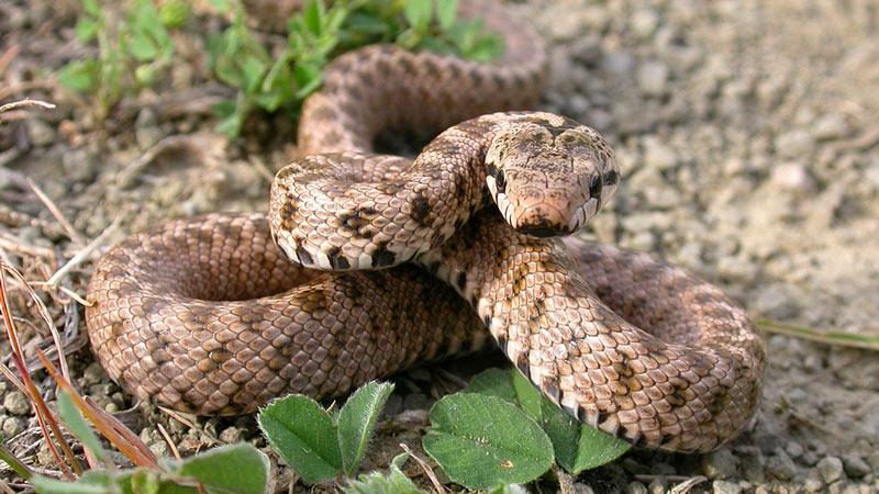 Змеи Кавказа: Закавказский полоз