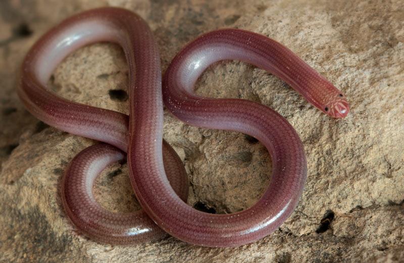 Змеи Кавказа: Червеобразная слепозмейка