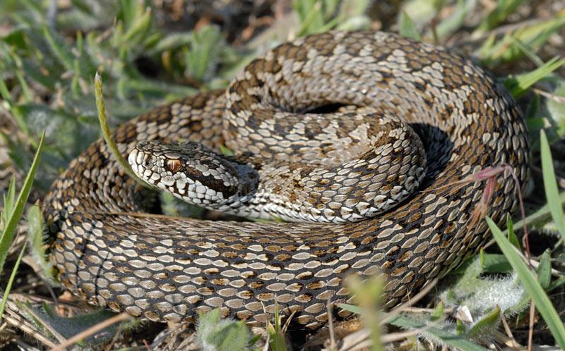 Змеи Краснодарского края: Степная гадюка
