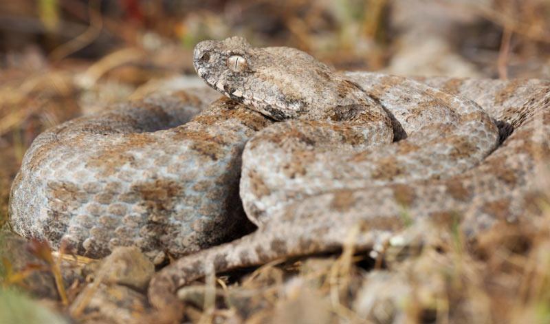 Змеи Кавказа: Гюрза