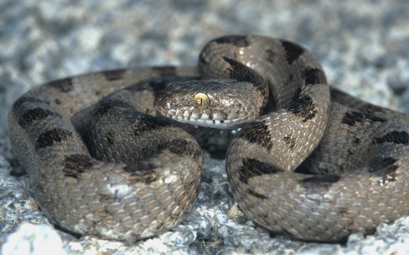 Змеи Кавказа: Кошачья змея
