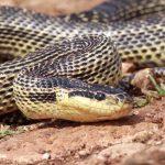 Змеи Краснодарского края: ядовитые и неядовитые