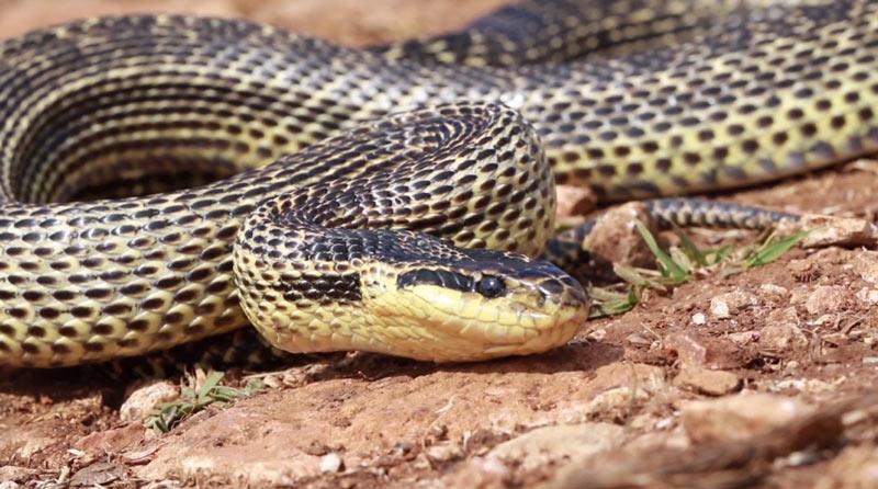Змеи Краснодарского края: Полоз Палласов