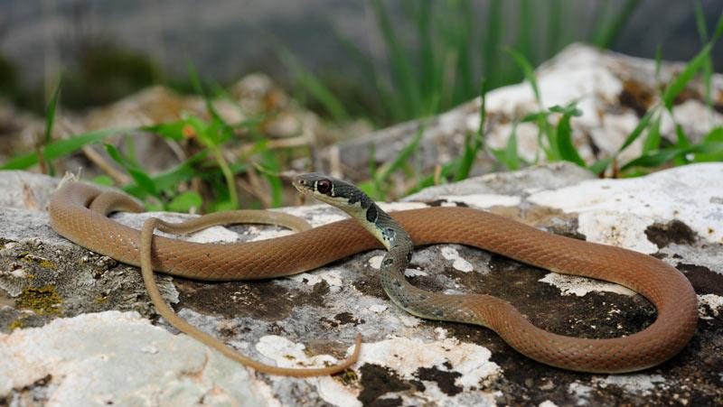 Змеи Краснодарского края: Оливковый полоз