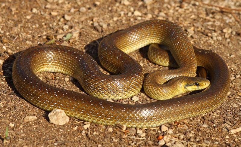 Змеи Краснодарского края: Эскулапова змея