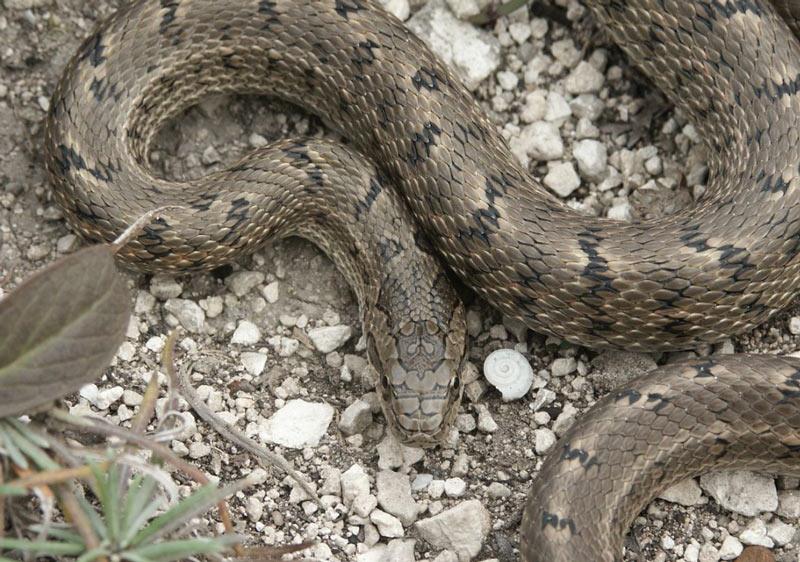 Змеи Краснодарского края: Полоз узорчатый