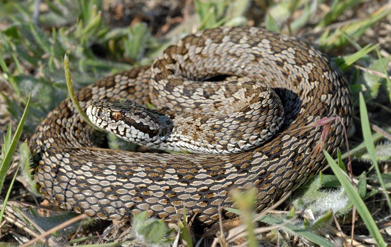 Змеи Крыма: Степная гадюка