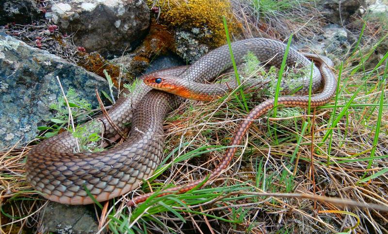 Змеи Крыма: Желтобрюхий полоз