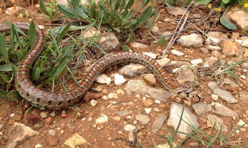 Змеи Крыма: Леопардовый лазающий полоз