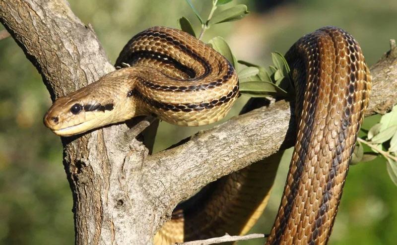 Змеи Крыма: Четырёхполосый лазающий полоз