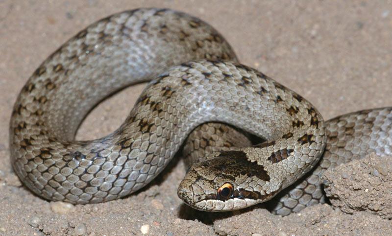 Змеи Крыма: Медянка обыкновенная
