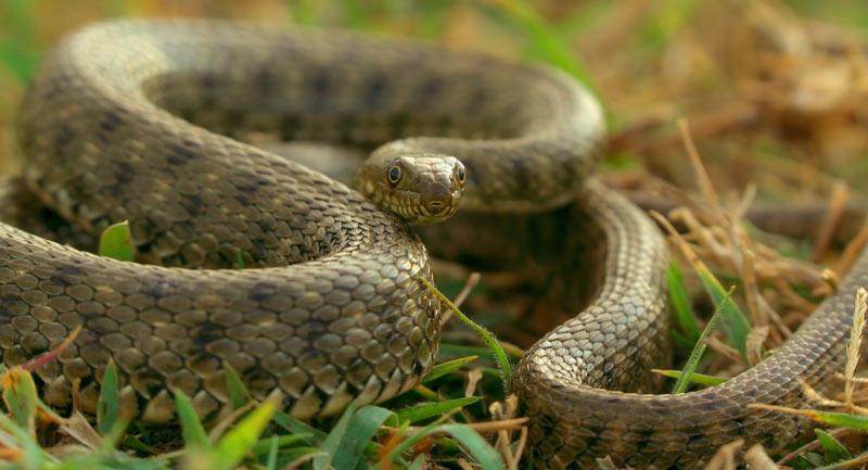 Змеи Крыма: Водяной уж