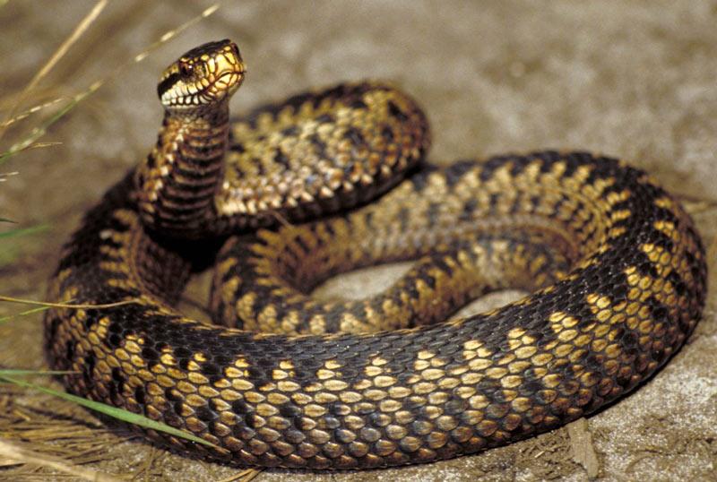 Змеи Ленинградской области: Обыкновенная гадюка