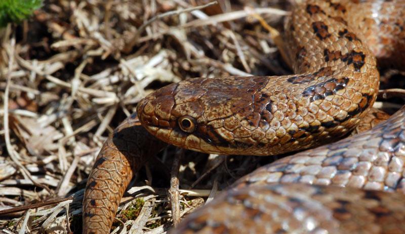 медянка змея фото ленинградская область это