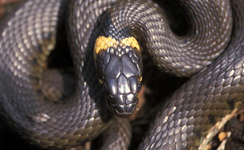 Змеи Ленинградской области: Обыкновенный уж
