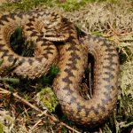 Змеи Москвы и Московской области: ядовитые и неядовитые
