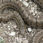 Змеи Ростова и Ростовской области: ядовитые и неядовитые