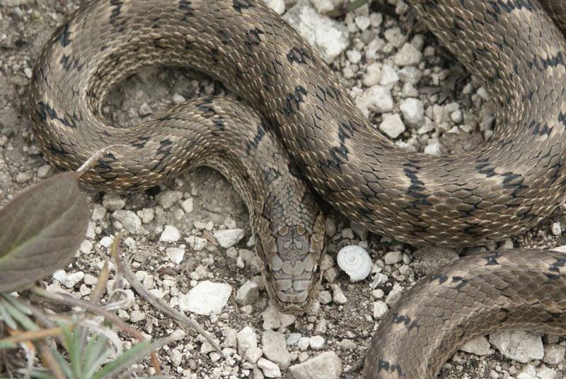 Змеи Ростовской области: Узорчатый полоз