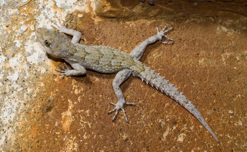 Животные Крыма: Крымский голопалый геккон