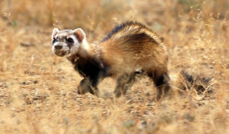 Животные Крыма: Степной хорёк