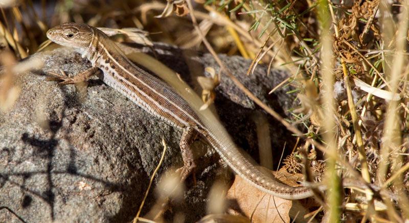 Животные Крыма: Крымская ящерица