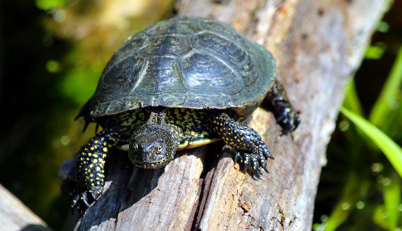 Животные Крыма: Болотная черепаха