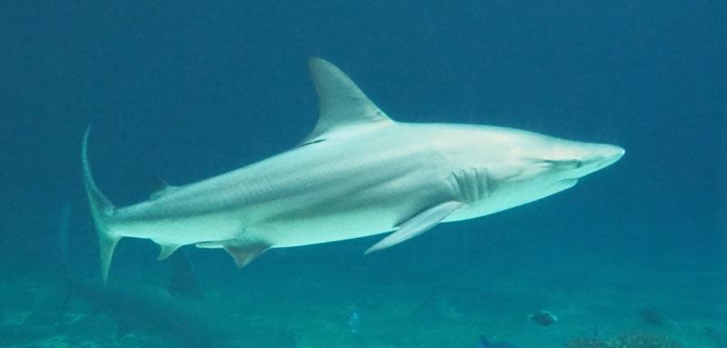 Животные Крыма: Чернопёрая акула