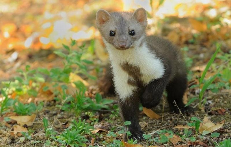 Животные Крыма: Белодушка
