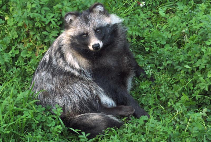 Животные Крыма: Енотовидная собака