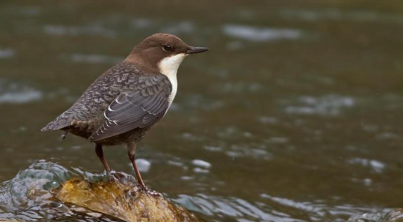 Сумасшедшая птичка – так назвал оляпку писатель Виталий Бианки, подметив её безрассудную смелость