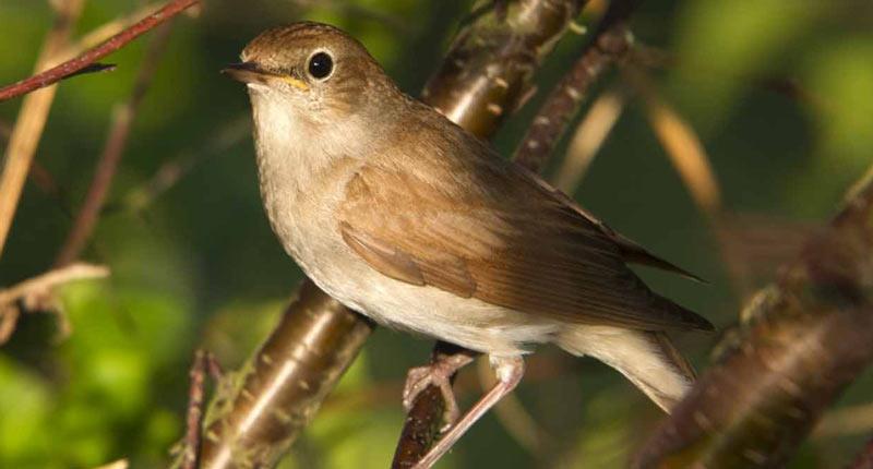 Певчие птицы: фото