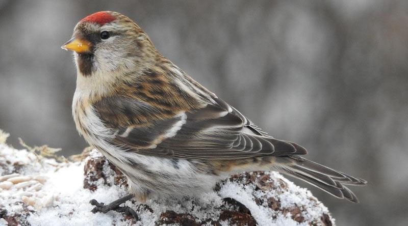 Певчие птицы: Обыкновенная чечётка
