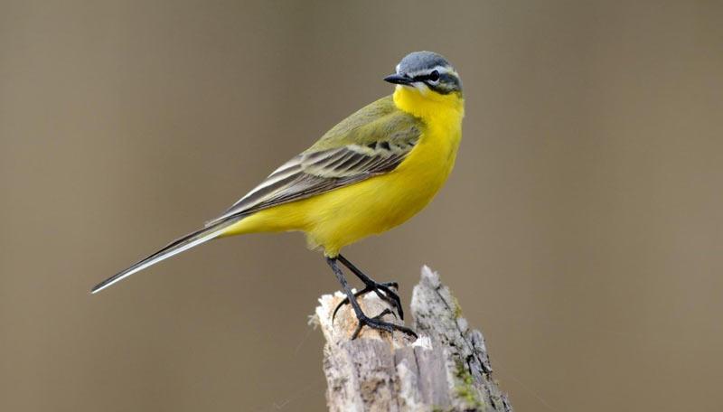 Певчие птицы: Жёлтая трясогузка